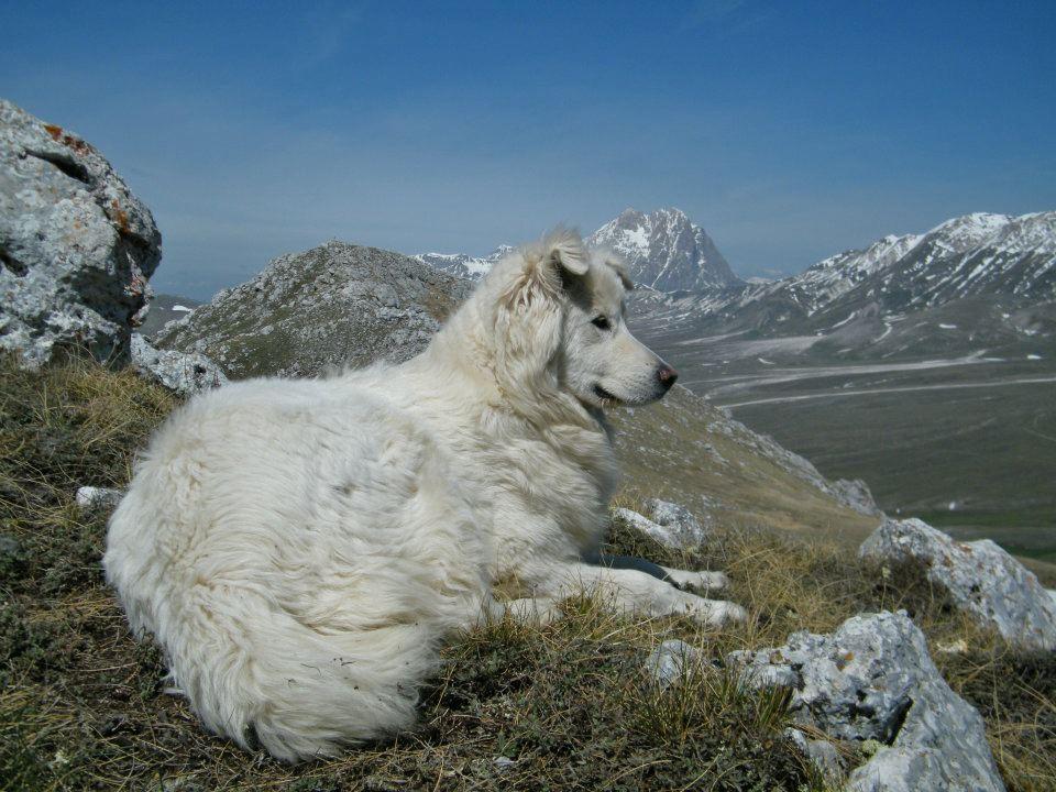 Grandi cani bianchi assergi racconta - Letto per cani grandi ...